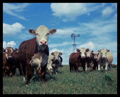 Cattle in the Flint Hills