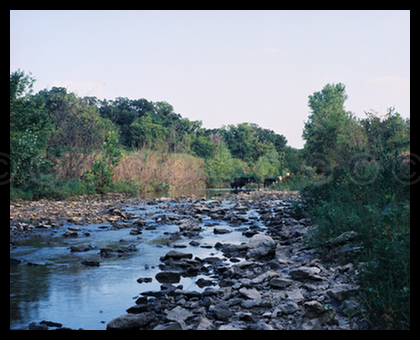 Flint Hills Stream with Cattle